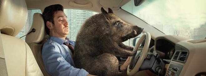 car and wild boar